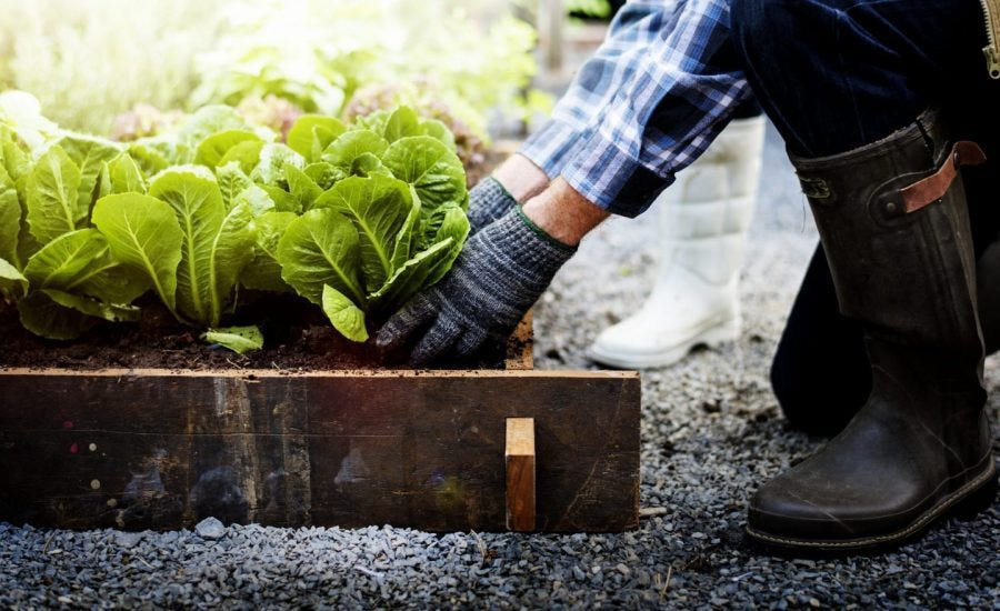 person kneeling and planting vegetables in raised garden bed